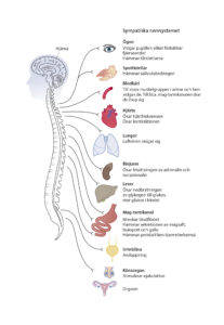 sympatiska_nervsystemet